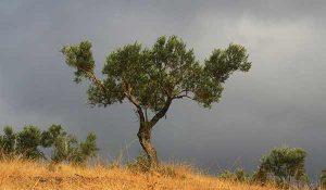 Planter un olivier en Bretagne