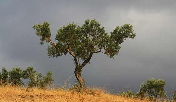 un olivier en bretagne